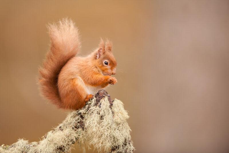 Identify a UK Red Squirrel (Sciurus vulgaris) pictured here on lichen