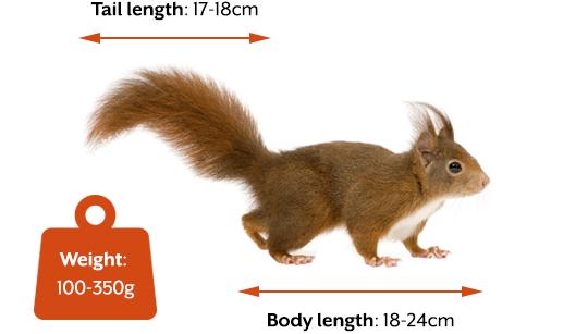 Red squirrel size information